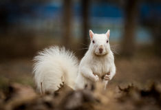 White squirrel in Olney City Park Royalty Free Stock Photography