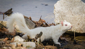 White Squirrel at Olney, IL Lake Royalty Free Stock Image
