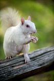 White squirrel in Olney Stock Image