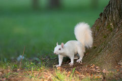 White squirrel in Olney Royalty Free Stock Photography