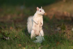 White squirrel in Olney Royalty Free Stock Photos