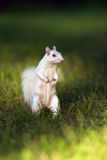 White squirrel in Olney Stock Photography