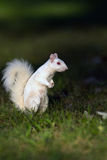 White squirrel in Olney Stock Photos