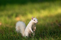 White squirrel in Olney Royalty Free Stock Image