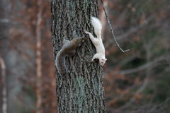 White squirrel in Olney stock images