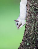 White squirrel pauses to eat while climbing down tree Stock Photo