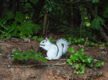 White Squirrel Pausing on the Forest Edge. A white squirrel, pauses at the edge of a forest in Brevard, North Carolina.  The unique coloring is not albinism note royalty free stock image