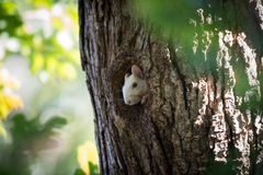 White Squirrel peeking out of hole. A rare white squirrel peeks out of a hole in a tree in a park in Olney, Illinois stock photos