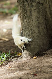White squirrel royalty free stock image