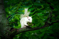 White squirrel Royalty Free Stock Photos