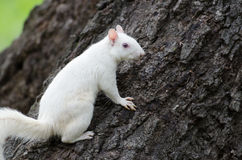 White squirrel Royalty Free Stock Image