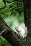 White squirrel royalty free stock photo