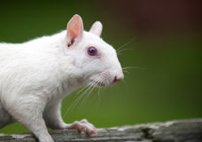 White squirrel Stock Image