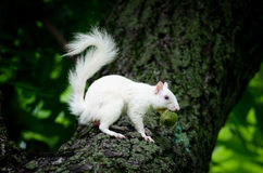White squirrel Royalty Free Stock Images