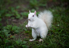 White squirrel Stock Images