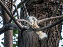 White squirrel scratching Stock Image