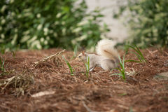 Squirrel. White squirrel standing on red weed ground Stock Image