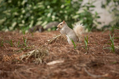 Squirrel. White squirrel standing on red weed ground and eating something Stock Photography
