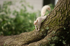 White rare Squirrel. A white squirrel standing on the tree root, and stretching its body Royalty Free Stock Image
