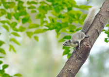 White squirrel , Thailand Royalty Free Stock Image
