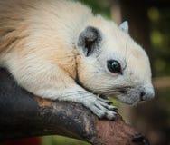White squirrel, Thailand Stock Photos