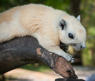 White squirrel, Thailand Stock Images