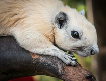 White squirrel, Thailand Stock Photo