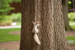 A white squirrel on a tree. A white squirrel climbing a tree trunk Stock Photo