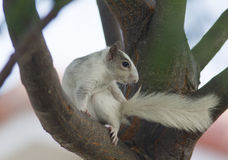 White squirrel on tree. A white squirrel found in central Florida, sitting on a tree Royalty Free Stock Photos