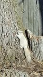 White squirrel tree royalty free stock photography
