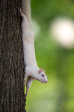 White squirrel on a tree Royalty Free Stock Photo