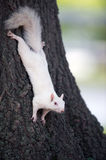 White squirrel on a tree Royalty Free Stock Image