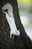White squirrel on a tree Stock Photo