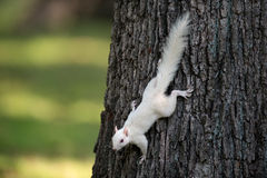 White squirrel on a tree Royalty Free Stock Photos