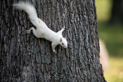 White squirrel on a tree Royalty Free Stock Photography