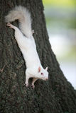 White squirrel on a tree Stock Images