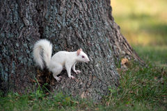 White squirrel on a tree Stock Photography
