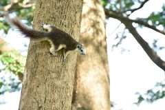 White squirrel on the tree royalty free stock images