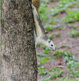 White Squirrel on the tree trunk Royalty Free Stock Image