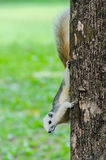 White Squirrel on the tree trunk Stock Image