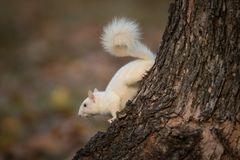 White squirrel in the woods stock photos