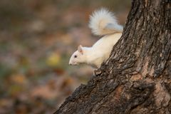 White squirrel in the woods royalty free stock photo