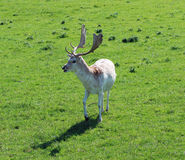 White Stag Royalty Free Stock Images