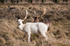 White Stag Deer stock photos