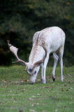 White stag grazing at Charlecote Park Royalty Free Stock Photo