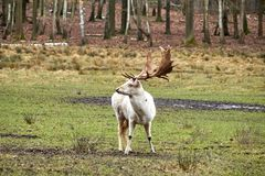 White Stag on a meadow stock image