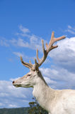 White stag Stock Images