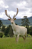 White stag in velvet Stock Photography