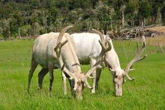 White stags in velvet Royalty Free Stock Photos