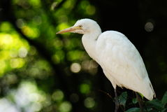 White Stalk. Photo of bird taken at the bird park in Kuala Lumpur, Malaysia Stock Images